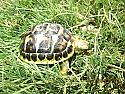 2020 Western Hermanns Tortoise Hatchlings