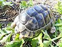 Adult Male Northern Ibera Greek Tortoises
