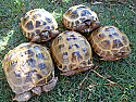 Young Adult Russian Tortoise Breeding Group
