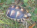 Young Female Marginated Tortoises