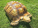 Young Adult Female Sulcata Tortoise