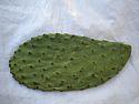 Opuntia (prickly pear) Cactus Pads