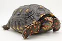 Juvenile Cherryhead Tortoises