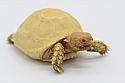 2019 Albino Sulcata Hatchlings