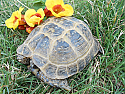 Adult Male Russian Tortoises