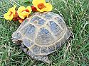 Adult Male Russian Tortoises