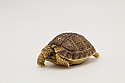 2020 Egyptian Tortoise Hatchlings