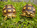 Yearling Sulcata Tortoises