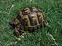 Adult Male Southern Ibera Greek Tortoises