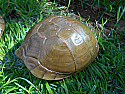 Adult Male Three Toed Box Turtles