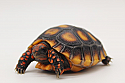 2019 Cherryhead Tortoise Hatchlings