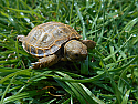 2015 Russian Tortoise Hatchlings