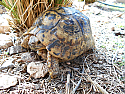 Adult Mid Eastern Greek Tortoises