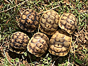 Anamurum Greek Tortoise Hatchlings