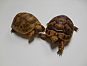 Yearling Golden Greek Tortoises