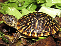 Ornate Box Turtle Hatchlings