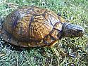 Gulf Coast Box Turtle Males