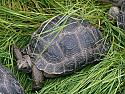 6 inch Aldabra Tortoises