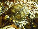 Hatchling Impressed Tortoise