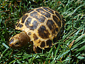 2018 Forsten's Tortoise Hatchlings