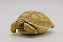 2019 Ivory Sulcata Tortoise Hatchlings