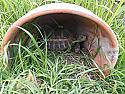Juvenile Forsten's Tortoises