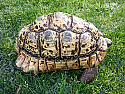 Adult Male Leopard Tortoises