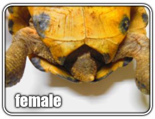 How to sex a desert tortoise