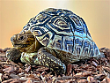 Yearling Leopard Tortoises