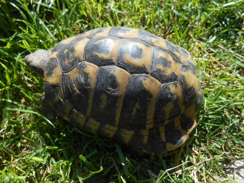 Dalmatian Hermann's Tortoises