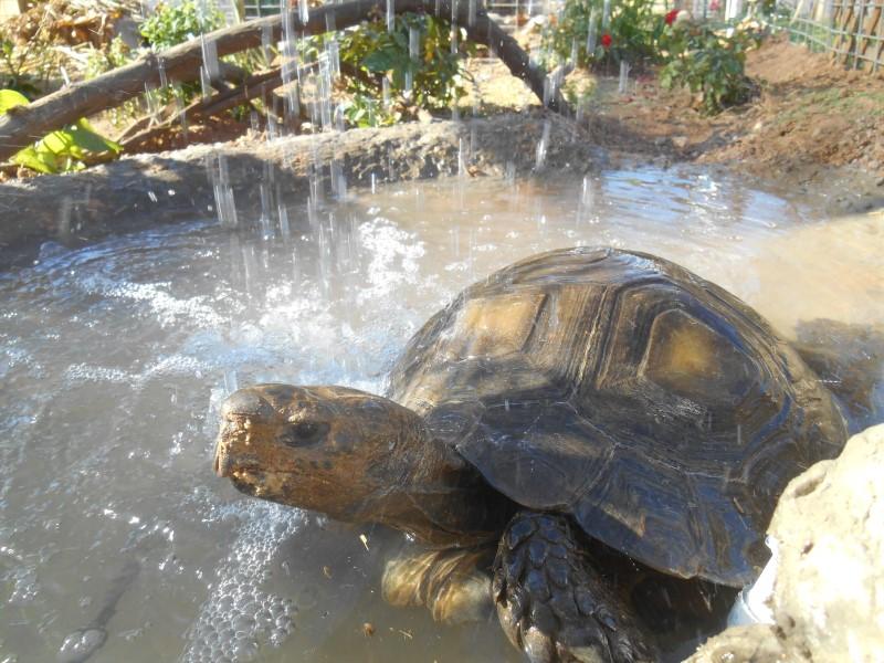 Brown Mountain Tortoises