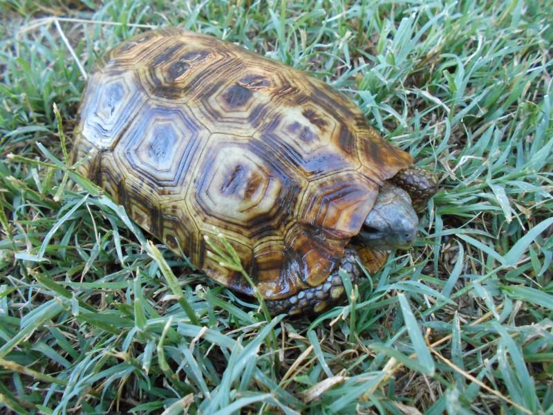 Speke's Hingeback Tortoises