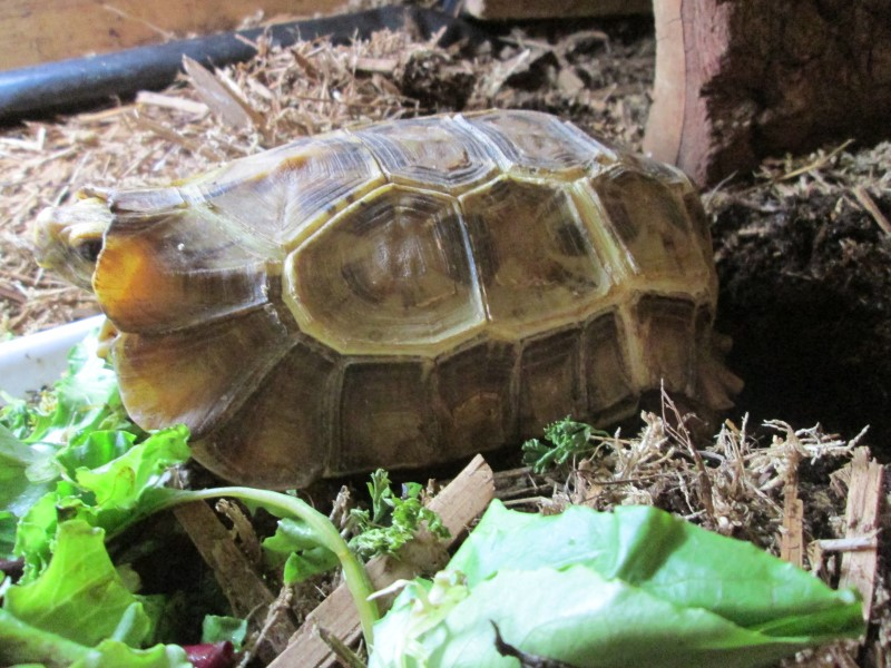 Home's Hingeback Tortoises