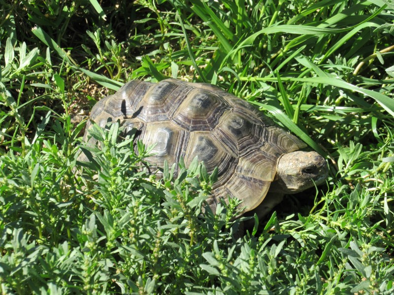 Buxton's Greek Tortoise