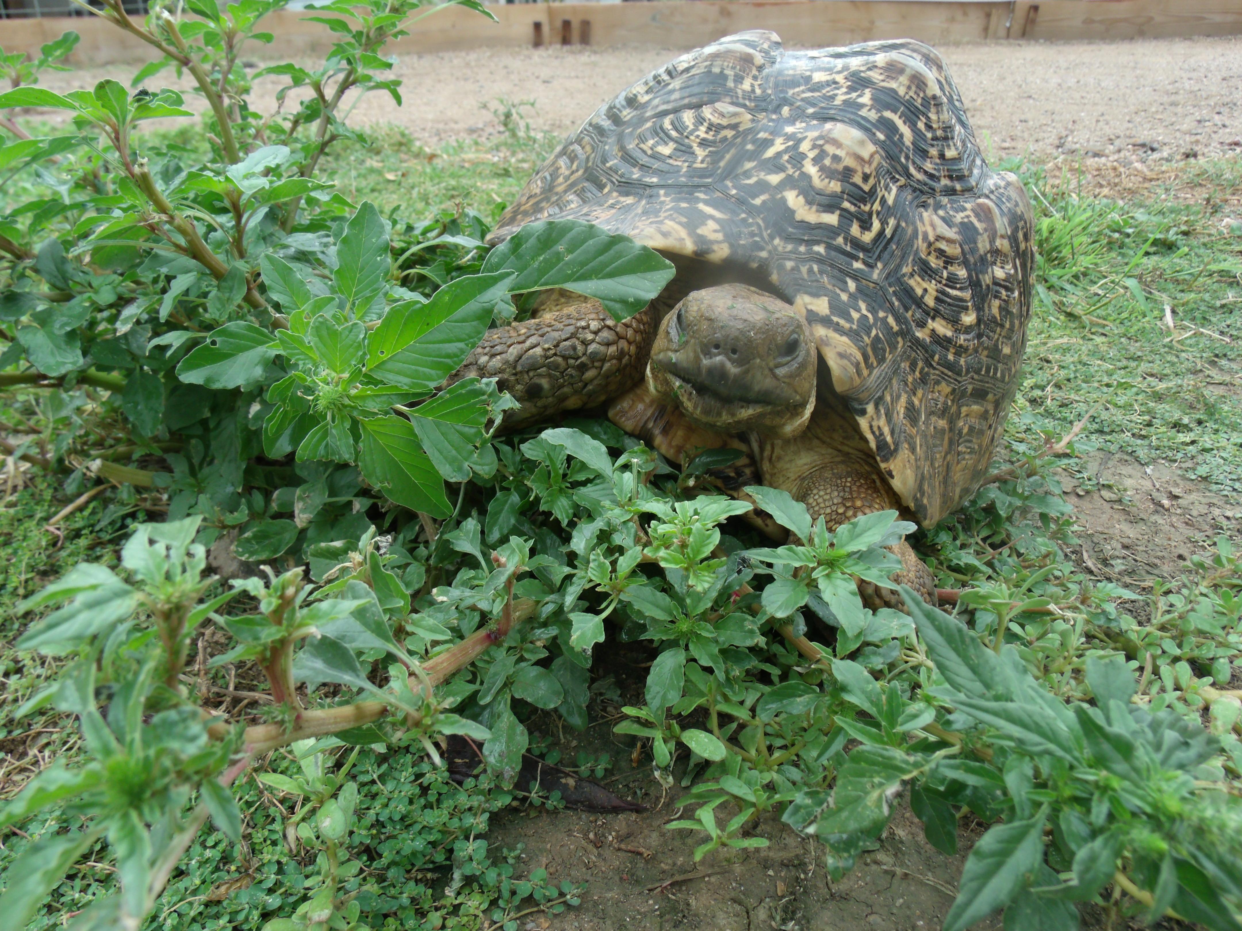 Pardalis Pardalis Leopard Tortoises