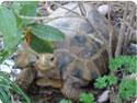 Forsten's Tortoises