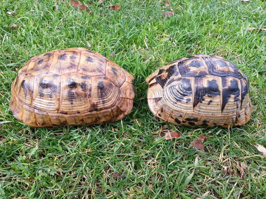 Mesopotamian Tortoises