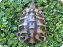 Hermann's Tortoises