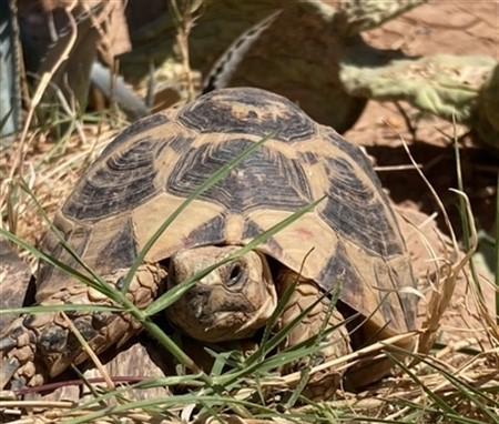 Tunisian Greek Tortoise