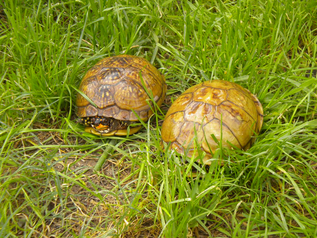 Three Toed Box Turtles