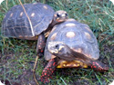 Redfoot Tortoises
