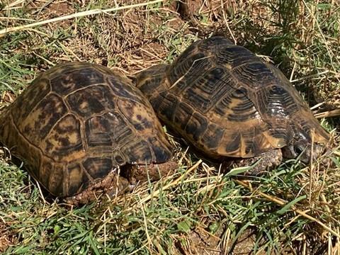 Anamurum Tortoise