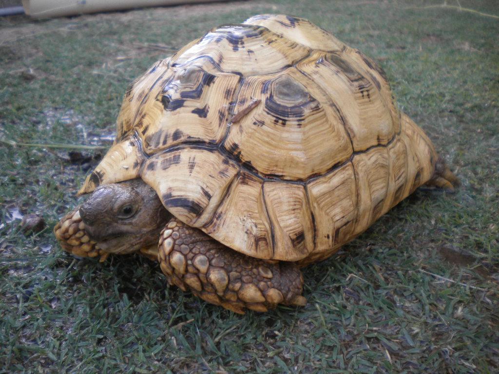 Pardalis Babcocki Leopard Tortoises