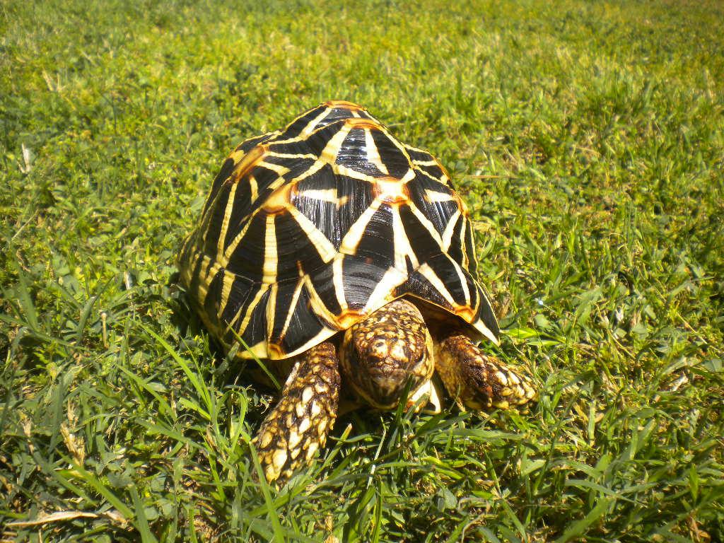 Sri Lankan Star Tortoises