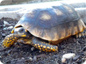 Yellowfoot Tortoises