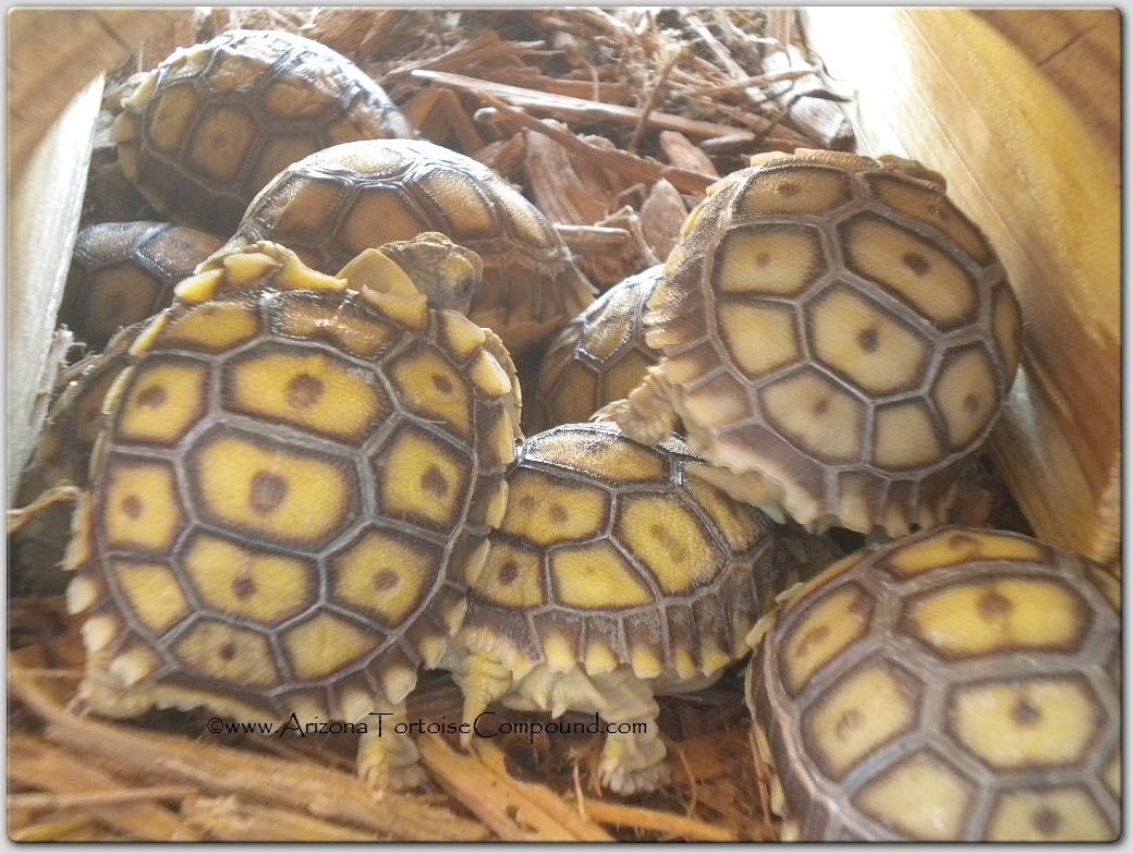Arizona Tortoise Compound~Sulcata hatchlings