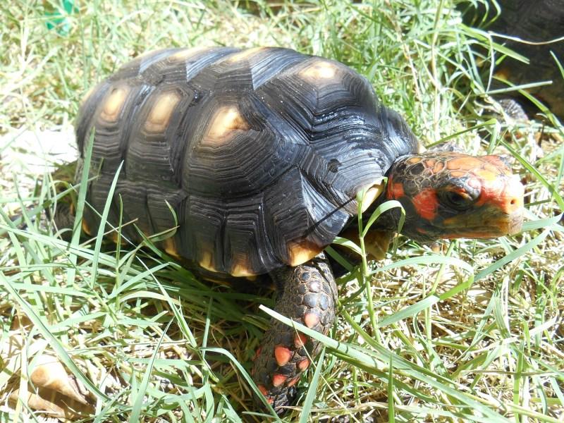 Adult Male Cherryhead Tortoises