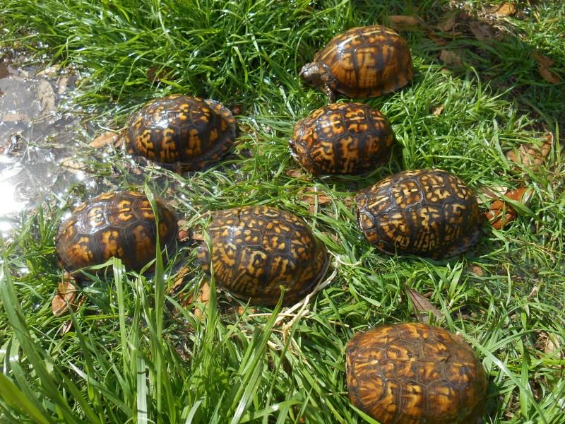 Adult Male Eastern Box Turtles