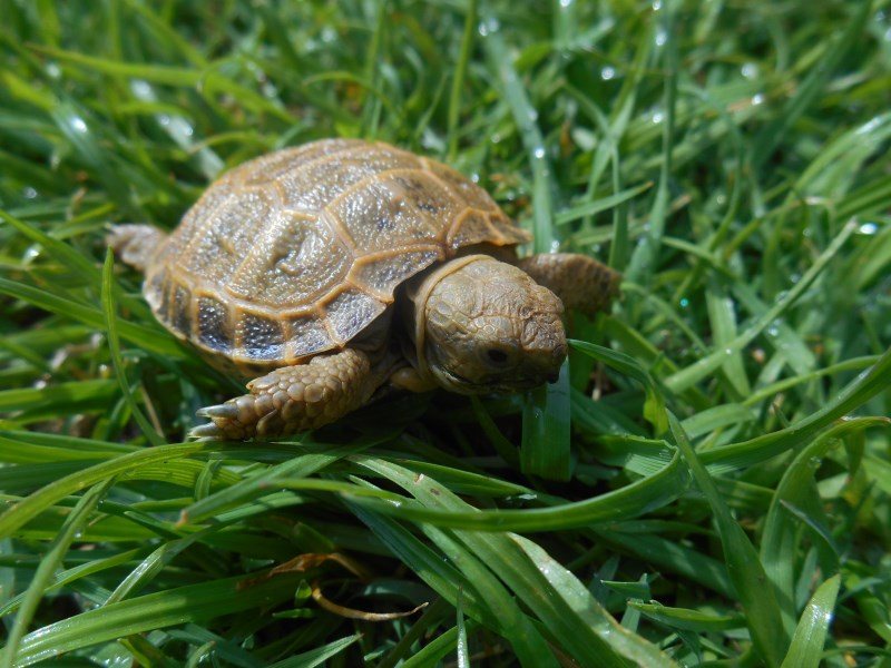2020 Russian Tortoise Hatchlings