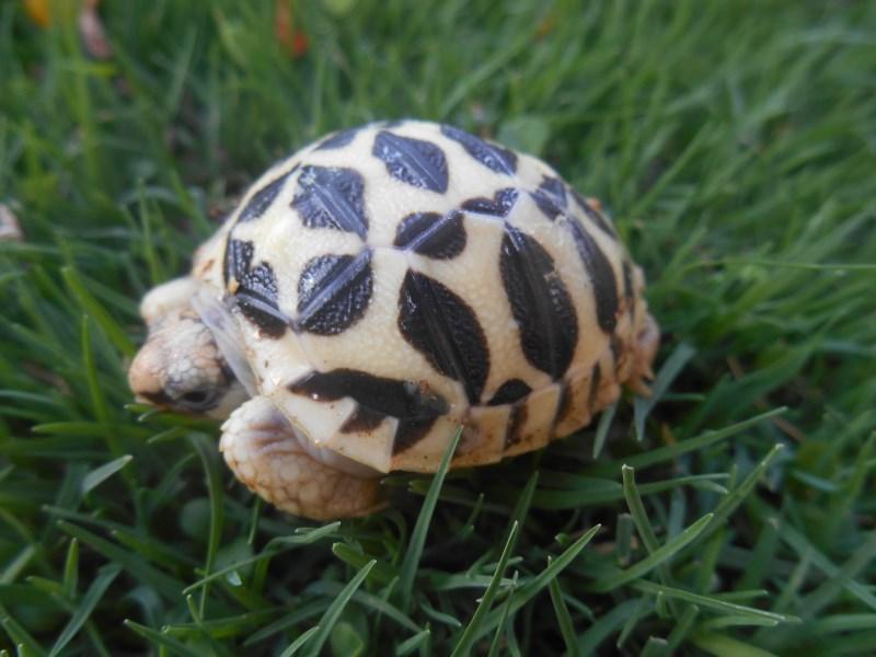 2019 Indian Star Tortoise Hatchling